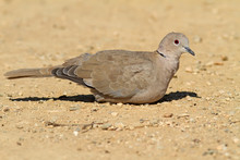 Collared Dove On The Ground