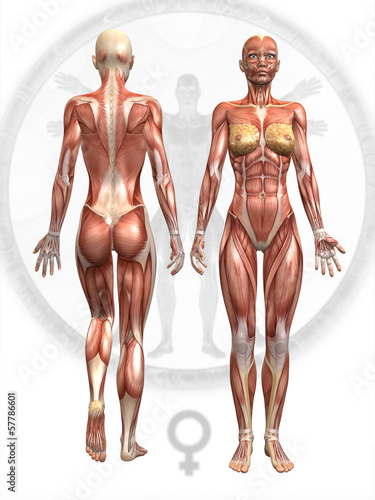 Anatomie Muskel Frau - Buy this stock illustration and explore ...