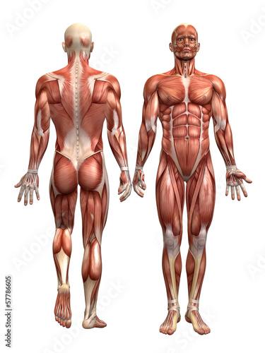 Fotografija Anatomie Muskel Mann