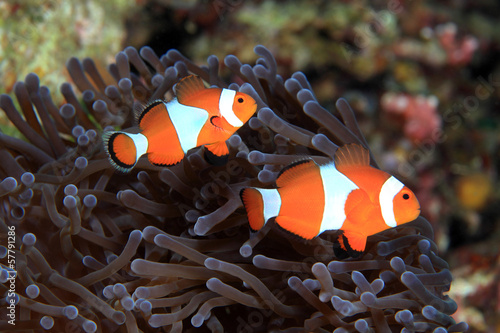 Plakat  Clownfish (Amphiprion ocellaris)