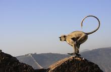 Gray Langur Playing At Taragarh Fort, Bundi, India