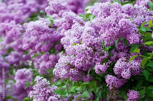 Tuinposter Lilac Branch of lilac flowers