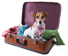 Dog Siting In Suitcase For Tra...