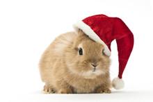 Kaninchen Mit Weihnachtsmütze