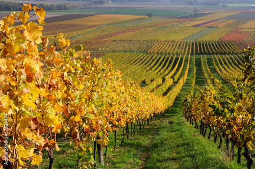 Poster Miel Autumn vineyard landscape in Rhine Valley, Germany