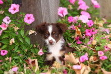 Miniature Australian Shepherd Puppy In Garden