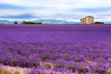 Lavender field in the South of France - 57849885