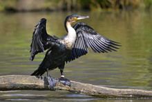 Great Cormorant (Phalacrocorax Lucinus