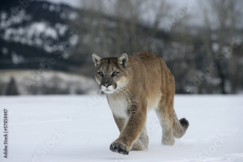 Tuinposter Puma Puma or Mountain lion, Puma concolor