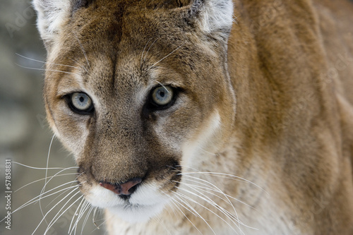 Fotobehang Puma Puma or Mountain lion, Puma concolor