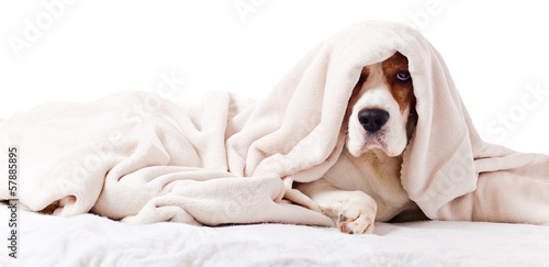 Photo  dog under a blanket on white