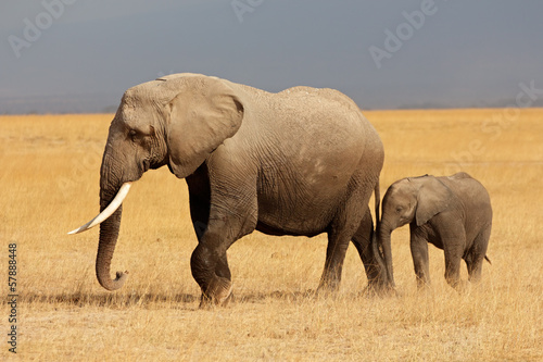 African elephant with calf, Amboseli National Park Poster
