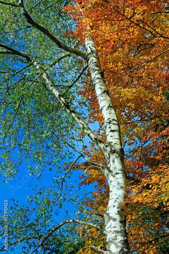 brzozowe-drzewo-w-roznych-odcieniach