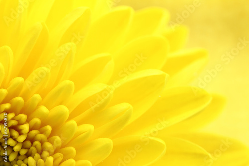 Spoed Foto op Canvas Macrofotografie Yellow chrysanthemum petals macro shot