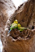 Couple Of Budgerigar Parrots O...