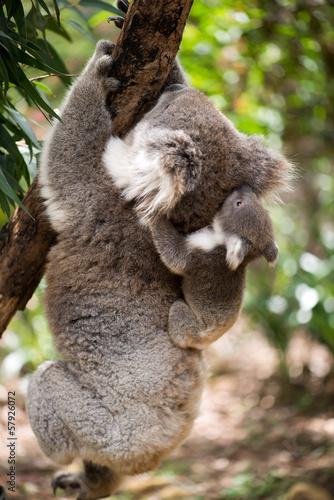 Papiers peints Koala Koala with joey climbing on a tree