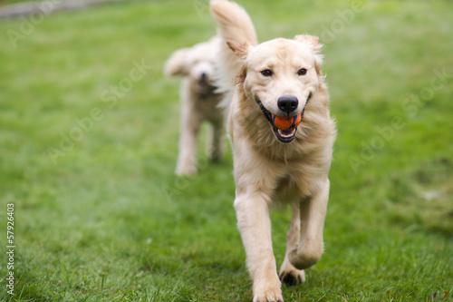 Fotografie, Obraz  Šťastný Golden Retreiver Pes s pudl aportuje Psi Domácí