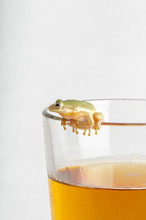 Tree Frog On Beer Glass