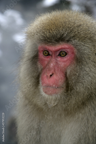 Fotografie, Obraz  Sníh opice nebo japonský makak