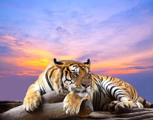 Tiger Looking Something On The Rock With Beautiful Sky At Sunset
