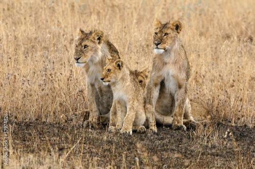 Staande foto Leeuw Pride of lions