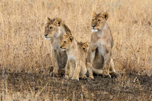 Foto op Plexiglas Leeuw Pride of lions