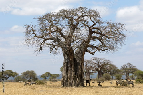 Fotobehang Baobab Giant Baobab tree with wildlife taking shelter