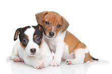 Jack Russel Terrier Puppies