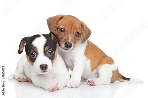 Jack Russel terrier puppies Canvas Print
