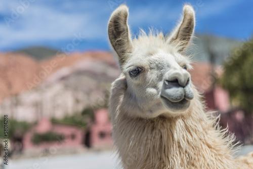Foto op Aluminium Lama Llama in Purmamarca, Jujuy, Argentina.