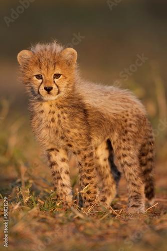 Cheetah cub Fototapeta