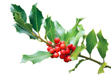 Holly Tree Branch Isolated On ...