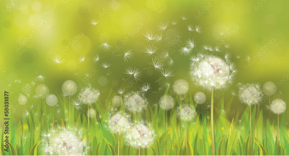Fototapety, obrazy: Vector of spring background with white dandelions.
