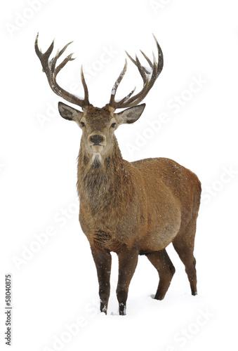Deurstickers Hert Red deer portrait