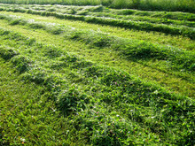 Mown Grass With Lines 6
