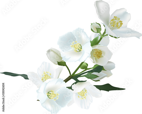 Photo jasmin flower branch isolated on white illustration