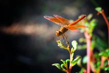 Orange Dragonfly On Plant.