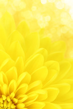 Yellow Chrysanthemum Petals Ma...