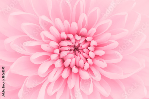 Wall Murals Macro photography Pink chrysanthemum petals macro shot