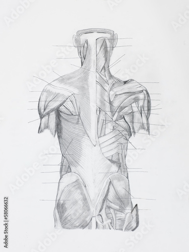 Fotografie, Tablou  Detail of back hunam muscles pencil drawing on white paper