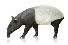 Portrait Of Tapir On White Bac...
