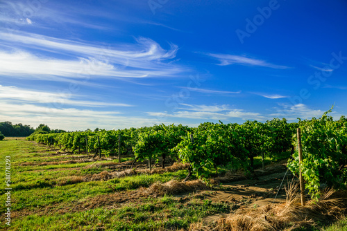 Papiers peints Vignoble beautiful rows of grapes before harvesting in a french vineyard
