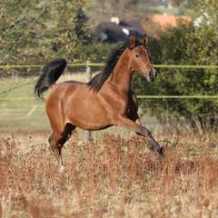 Gorgeous arabian horse running on autumn pasturage