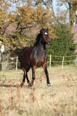 Nice brown pony running in autumn
