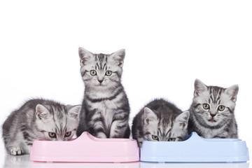 FototapetaVier britisch Kurzhaar Kätzchen fressen in Reihe