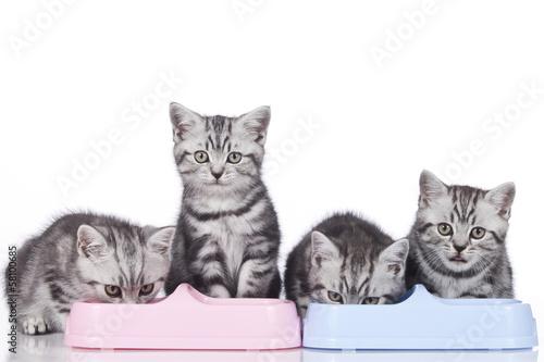 Vier britisch Kurzhaar Kätzchen fressen in Reihe - 58100685
