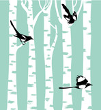 Magpie birds on a birch trees