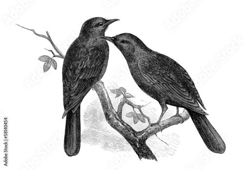 Photo  Bird - Merle (Amydrus Tristrami)