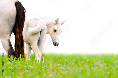 Fotografia Horse foal looking isolated on white