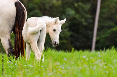 Fényképezés White horse foal in a green grass.
